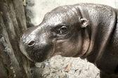 Karłowaty hipopotam zoo chiang mai tajlandia — Zdjęcie stockowe