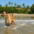 Red dog on the beach in India — Stock Photo