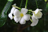 Thai Frangipani Flowers with raindrops dark background — ストック写真