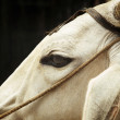 White Indian Cow close-up — Stock Photo