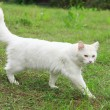 White cat on a background of green grass in the countryside — Stock Photo