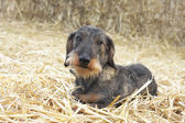 Wire haired dachshund dog lying on hay — Stock Photo