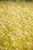 Grass at sunset — Stock Photo