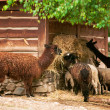 Lama, the animals in the zoo — Stock Photo
