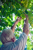 Man gathering grapes — Stock Photo