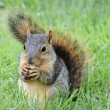 Squirrel eating peanut — Stock Photo