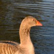 Greylag goose in water — Stock Photo #12051869