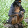 Spider monkey in zoo in Iquitos, Peru — Stock Photo #12053233