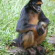 Spider monkey in zoo in Iquitos, Peru — Stock Photo