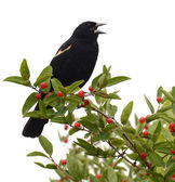 Red-winged blackbird, white background — Stock Photo