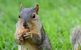ピーナッツを食べるリス — ストック写真