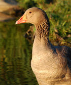 Graylag goose close-up — Stock Photo