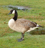 Banded Canada goose — Stock Photo