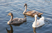 Mute swan cygnets swimming — Стоковое фото