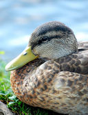 Black duck head close-up — Stock Photo
