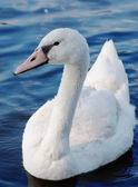 Cygnet swimming — Stock Photo