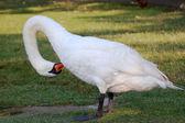 Mute swan preening — Stock Photo