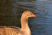 Greylag goose in the water — Stock Photo