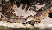 Crocodiles lounging — Stock Photo