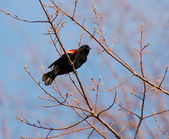 Red winged blackbird on branch — Stock Photo