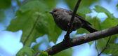 Paffuto passero come un uccello nero — Foto Stock