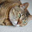 Tabby cat gazing — Stock Photo