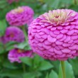 Zinnia Elegans Benary — Stock Photo