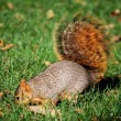 Stock Photo: Squirrel digging for nut