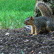 Foto Stock: Squirrel defending tree
