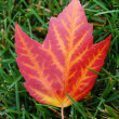 Maple leaf on grass — Stock Photo