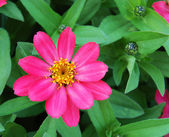 Zinnia hybrida profusion coral — Stock Photo