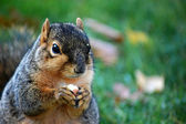 Squirrel eating nut - close up left — Stock Photo