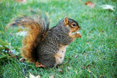 Squirrel eating nut - vertical facing right — Foto Stock