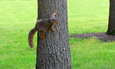 Squirrel clinging to tree — Stock Photo