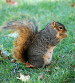 Squirrel eating nut — Foto Stock
