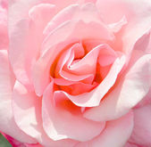 Rose closeup — Stock Photo