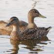 Black ducks looking opposite ways — Stock Photo #12136285