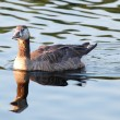 Speckled goose in water — Stock Photo