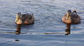 Two black ducks looking ahead — Stock Photo