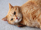 Cat daring you to take away his catnip — Stock Photo