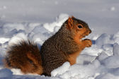 Squirrel in snow eating facing right — Stock Photo