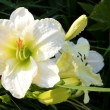 White temptation daylily — Stock Photo