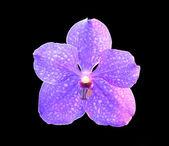 Orchid vanda pachara delight — Stock Photo