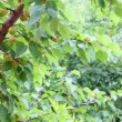 Branch with fruit apricot — Stockvideo