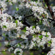 Stock Video: Fruit tree in bloom