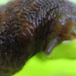 Slug crawling on the surface — Stock video