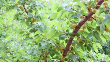 Branch with fruit apricot — Stock Video