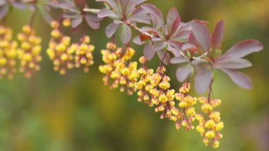 Berberis — Stock Video