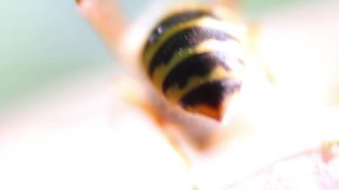 Wasp on the apple — Stock Video