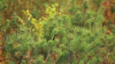 Spruce branch — Stock Video